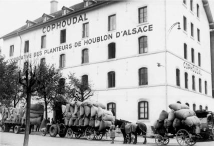 Les origines du houblon en Alsace