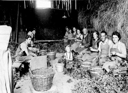 Une longue tradition en Alsace : Recolte de 1939 de la COPHOUDAL