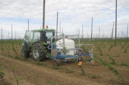 Culture du Houblon sans pesticides en Alsace