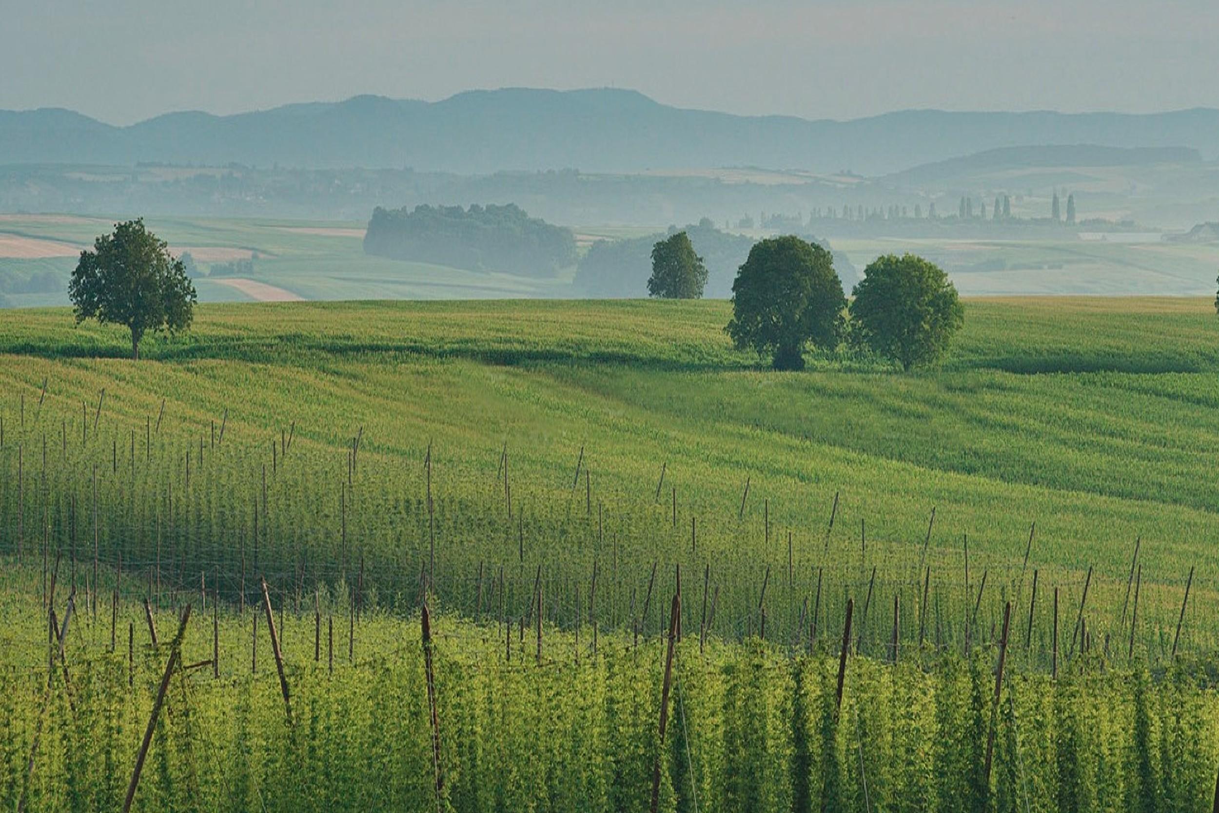 L'Alsace, un terroir et un climat,  pour un houblon des plus raffinés