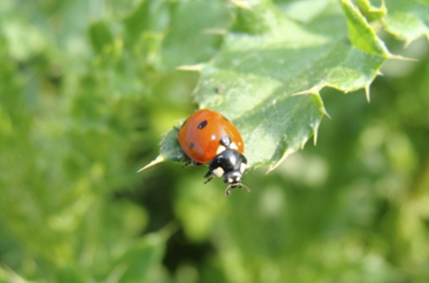 Use of ladybugs to control insects